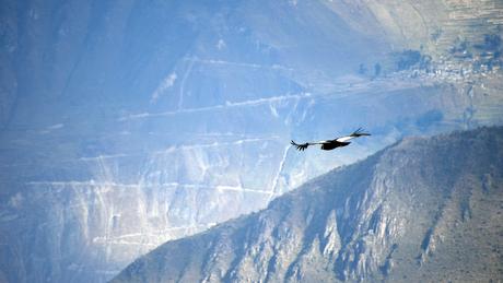 Andes Condor in de Colca Canyon