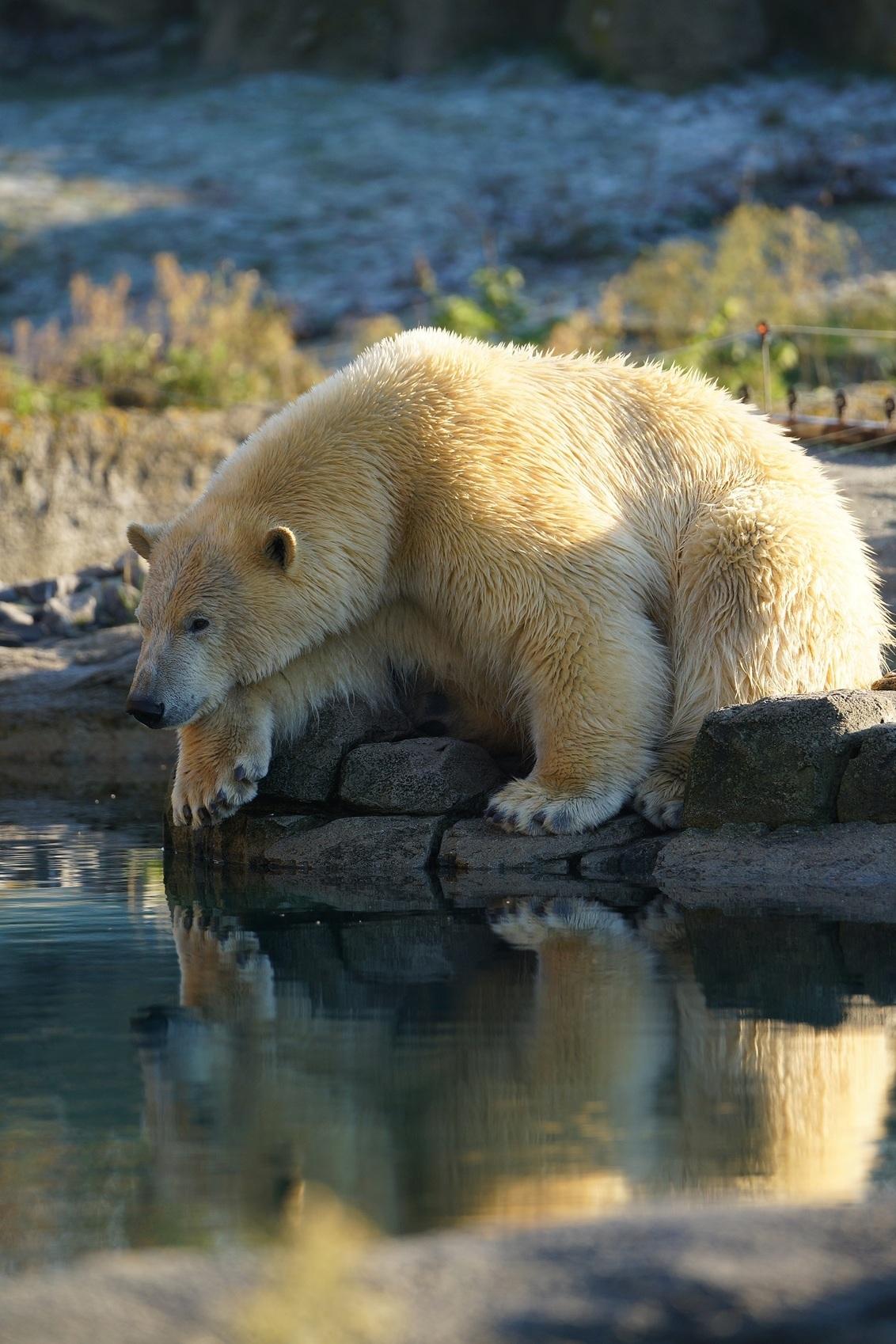 IJsbeer aan de waterkant. - IJsbeer bij de waterkant in Diergaarde Blijdorp,Rottedam - foto door h.c.c.verhoef op 28-01-2017 - deze foto bevat: water, rotterdam, dierentuin, dieren, ijsbeer, blijdorp, diergaarde blijdorp