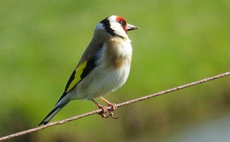 De Putter, wat een mooi vogeltje!