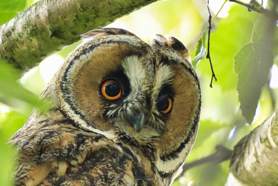 Pasfoto Ransuil - Wat een mooie koppen hebben ze.  Deze zat weer in de boom bij de buren, lekker laag en absoluut niet bang, eerder nieuwsgierig en een houding van wa - foto door Waltherwb op 05-04-2021 - deze foto bevat: uil, dieren, vogel, ransuil, close-up