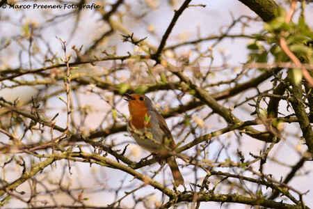 Roodborst zingt uit volle borst - Roodborst zingt uit volle borst - foto door marcopreenen op 21-04-2020 - deze foto bevat: rood, lente, natuur, roodborstje, dieren, safari, vogel, voorjaar, awd, roodborst, wildlife, zangvogel
