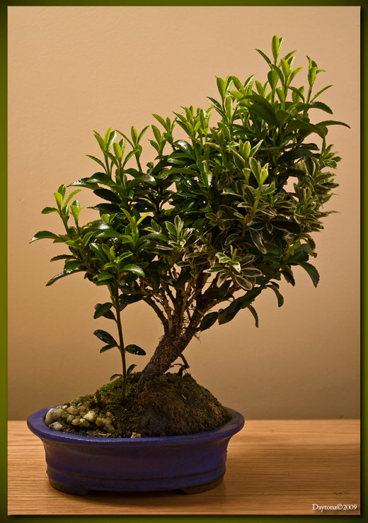 Bonsai 4 - Deze Bonsai staat het gehele jaar buiten en zal binnenkort wel weer gaan bloeien. Het is een beetje vreemd gezicht als er van die grote bloemen aan  - foto door Daytona_zoom op 25-03-2009 - deze foto bevat: gras, boom, bladeren, mos, blad, bomen, takken, tak, takjes, blaadjes, kiezels, boompje, bonsai, boom-, blad-, bomen-, bonsai-s, bonsaipot, boompje-