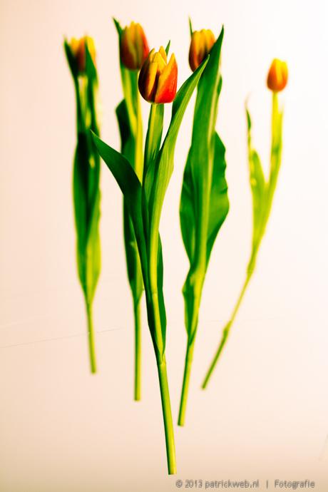 tulpen (7).jpg