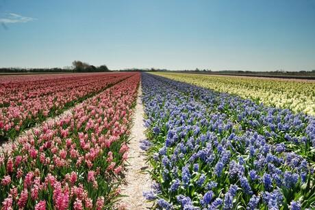 Hyacinten in vele kleuren