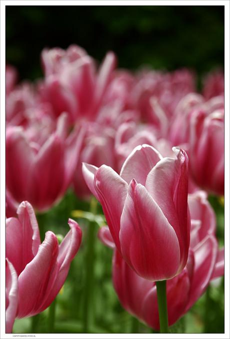 Tulpen uit A'dam ...