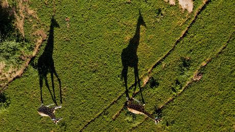 Giraffen met schaduw