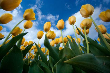 Tulpen en hemel