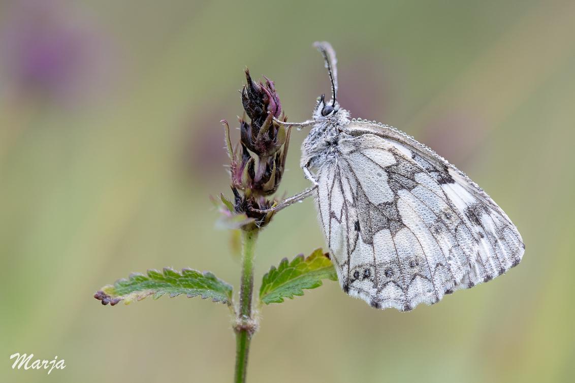 Dambordje - Vroeg in de morgen in een gebied waar de vorige dag honderden vlinders vlogen...terug maar het weer werkte niet helemaal mee, dus maar stuk of 5 slap - foto door Marja8032 op 15-07-2019 - deze foto bevat: macro, vlinder, dauw, dambordje