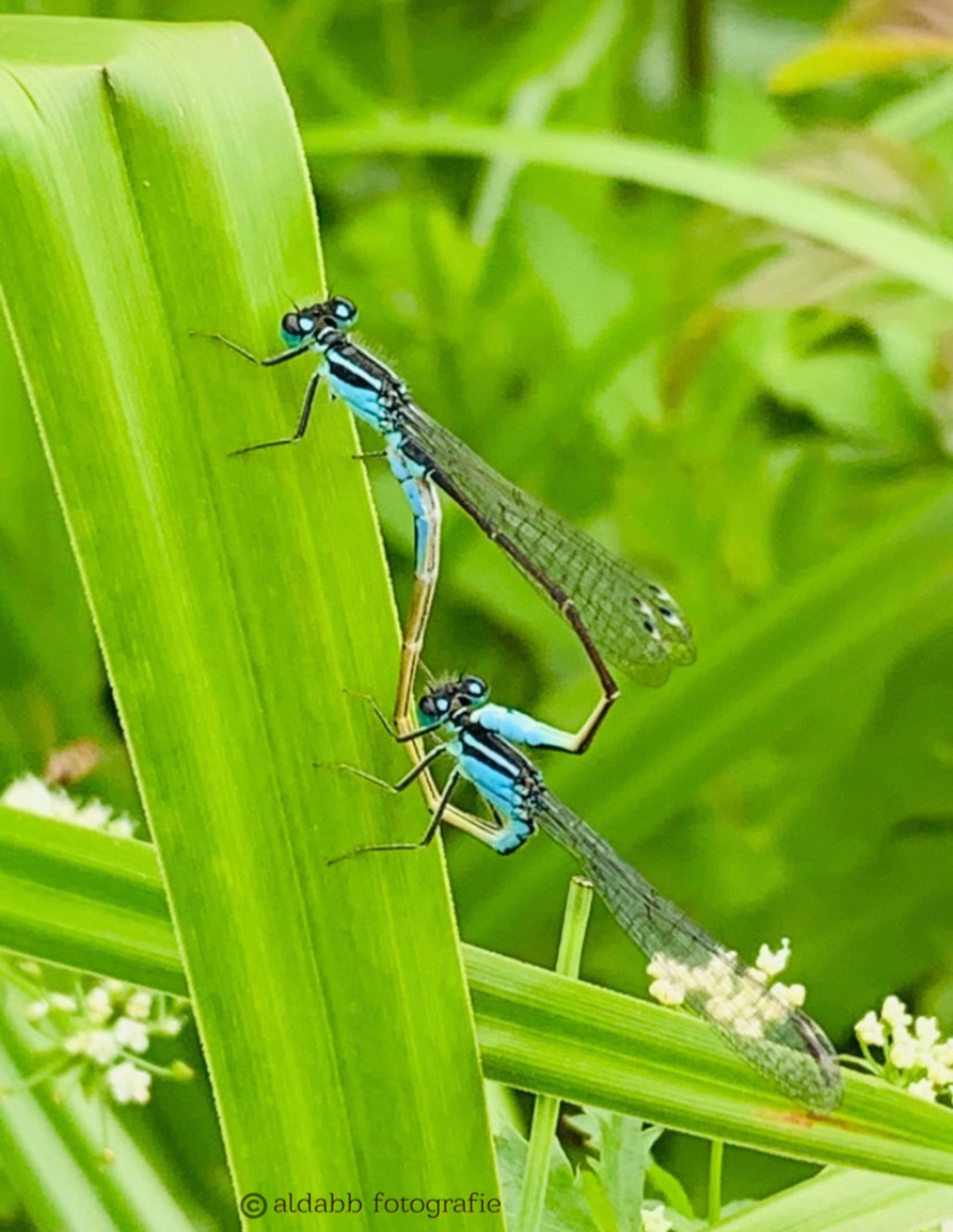 Parende Libelle's - Parende Libelle's - foto door alda-b-b op 03-03-2021 - deze foto bevat: groen, blauw, libelle, luttezand
