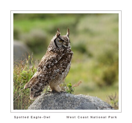 Eagle Owl - Het West Coast National Park is een prachtig natuurgebied aan de westkust van Zuid-Afrika. Wij werden heel aangenaam verrast door deze uil die we plo - foto door Giraffe op 14-02-2009 - deze foto bevat: uil, park, safari, vogel, national, west, owl, coast, travelphotography, zuid-afrika, wcnp