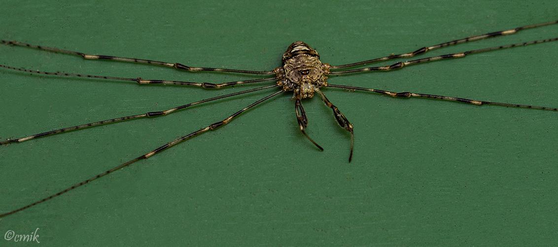 Strekpoot Spin - Dit mannetje zat op het deksel van de GFT kliko in de achtertuin. Mist één poot. De mannetjes worden tot 4 mm, de vrouwtjes tot 6 mm groot (poten nie - foto door copper-krijger op 06-02-2021 - deze foto bevat: groen, macro, natuur, spin, tuin, hooiwagen, laowa, strekpoot spin