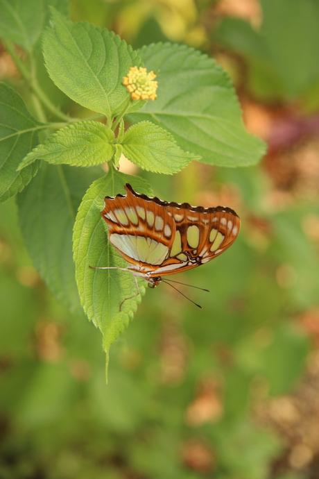 mooie vlinder amazonica blijdorp