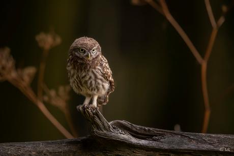 Little owl is getting big :)