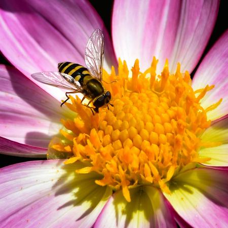 Yellow bee - - - foto door hans67 op 19-10-2017 - deze foto bevat: roze, rood, macro, hommel, bloem, wesp, natuur, bij, vlieg, oranje, tuin, insect