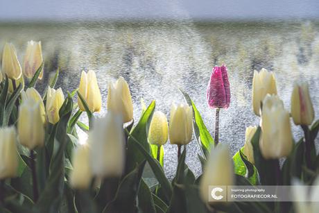 Creatief flitsen met tulpen