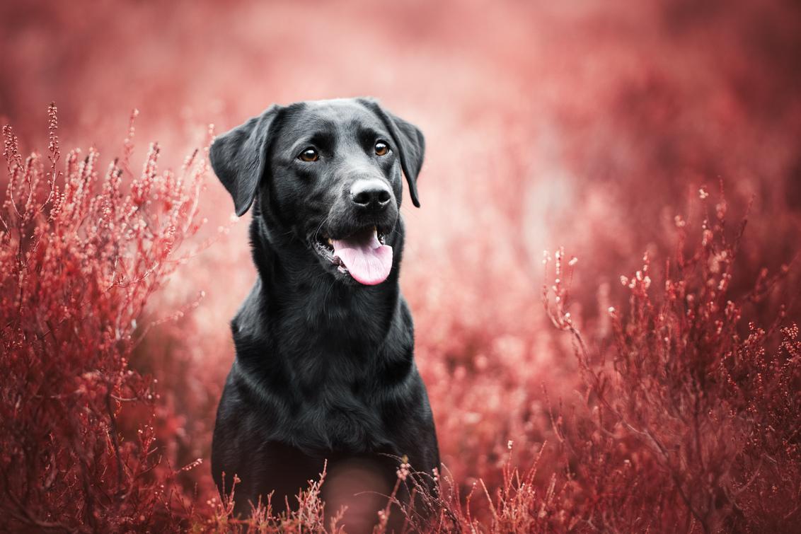 Pepper - - - foto door HannahV op 05-02-2020 - deze foto bevat: portret, heide, hond, labrador