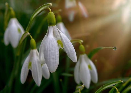 Sneeuwklokje (Galanthus nivalis)D71_2265