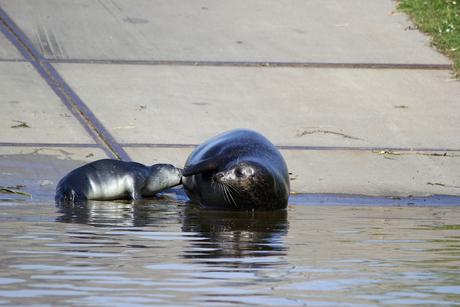 Moeder zeehond zoogt/voed pup