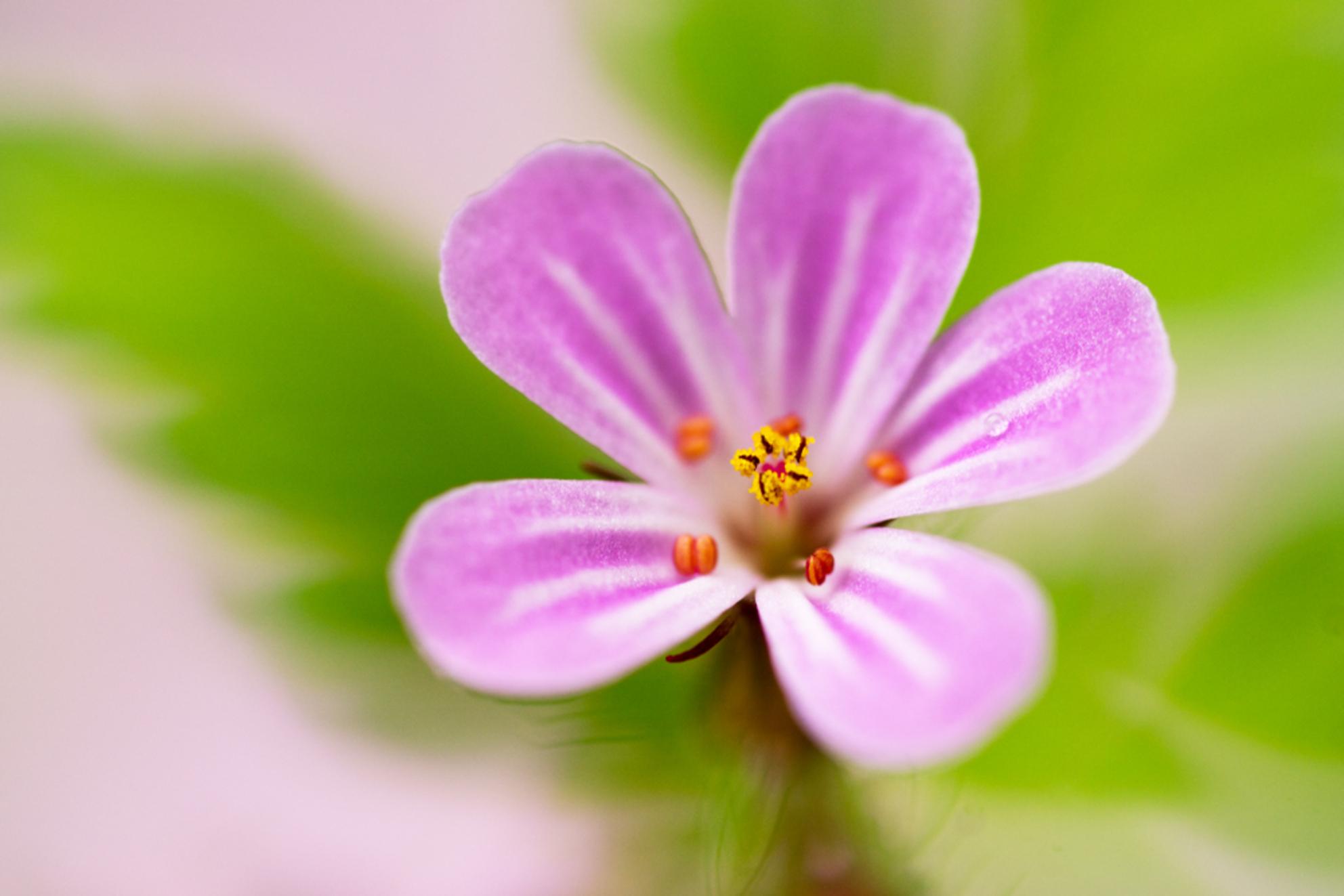 Pink Ribbon - Dit roze bloemetje is van het Robertskruid en mijn bijdrage voor de Pink Ribbongroep. - foto door JeanneW op 31-10-2016 - deze foto bevat: roze, macro, bloem - Deze foto mag gebruikt worden in een Zoom.nl publicatie
