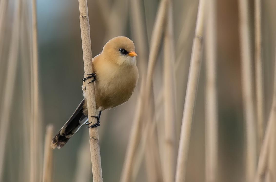 Baardman (juveniel) - Ik hoorden ze al van ver 2 juveniele baardmannetjes ! waarvan er een mooi bleef hangen . - foto door robb89 op 25-06-2017 - deze foto bevat: natuur, dieren, vogel, wildlife, rietveld, baardman, juveniel, robwijn