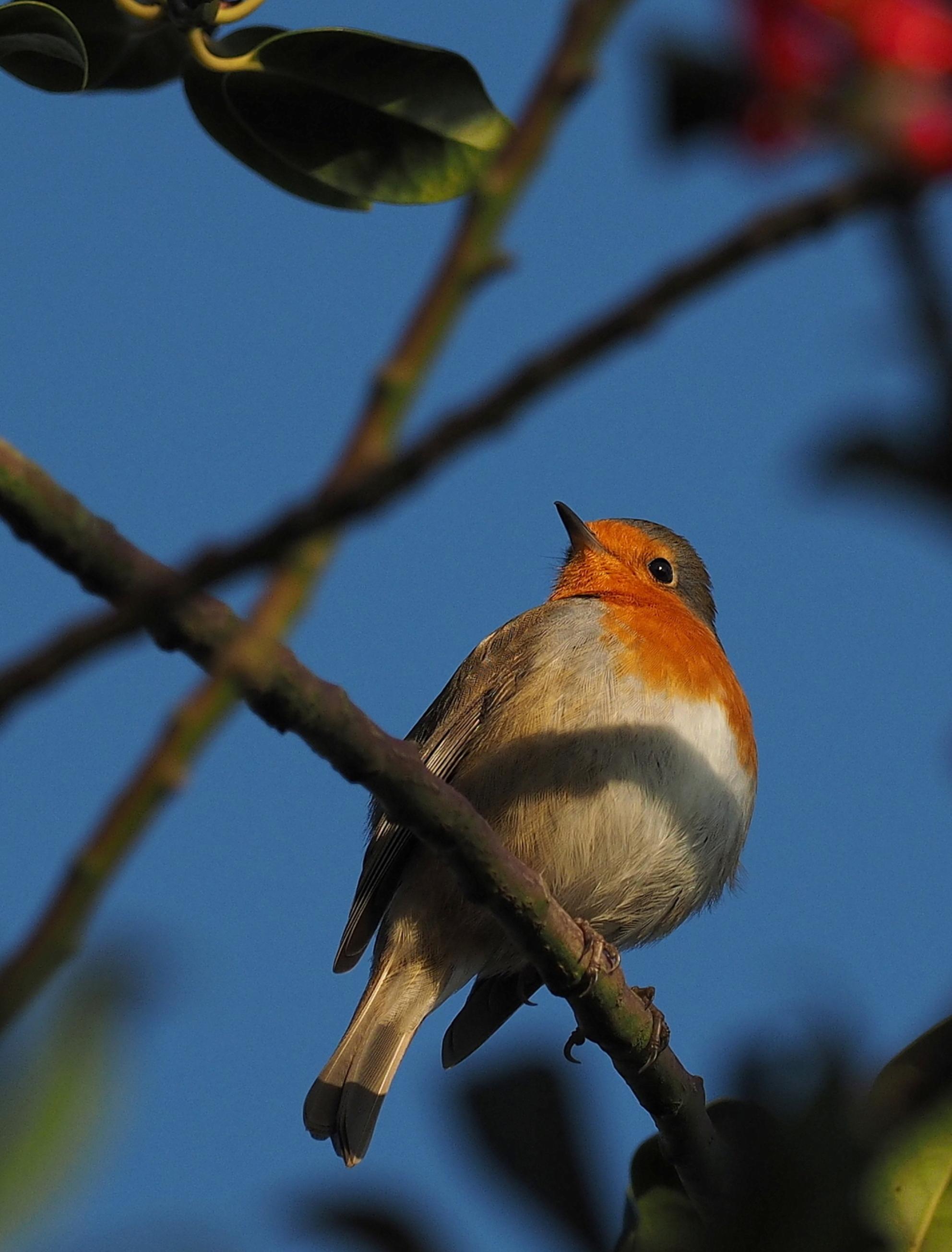 De Baas. - Hij regeert in de tuin..wonderlijk - foto door pietsnoeier op 28-11-2016 - deze foto bevat: natuur, roodborstje, tuin, winter, wildlife - Deze foto mag gebruikt worden in een Zoom.nl publicatie