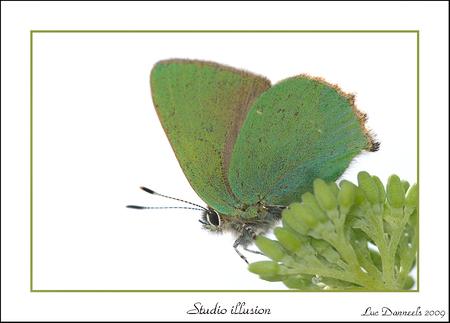 Het Groentje 02 - Ja maandag zit mijn vlinderjacht vakantie hier in Frankrijk er op. (september ga ik terug) Als afsluiter deze twee opnames van Het Groentje, persoon - foto door boris165 op 19-04-2009 - deze foto bevat: vlinder, vlinders, groentje