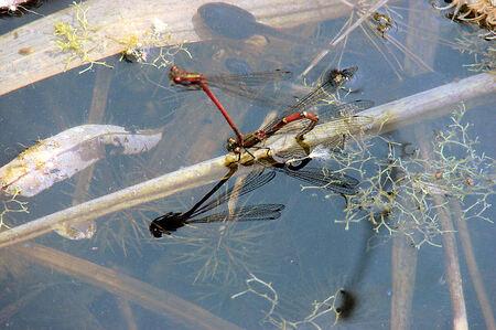 ,Juffers - Ineke v. Faasen wist met stelligheid dat de Juffers aan het eitjes leggen waren en dan vrees ik dat ze worden opgepeuzeld door de honderden dikkopjes - foto door Thomas_zoom op 05-05-2007 - deze foto bevat: juffers, libellen