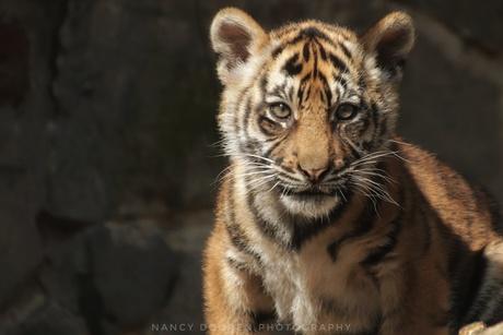 Jong tijgertje