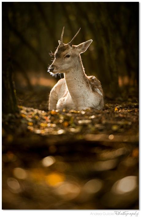 Deer 'o Deer