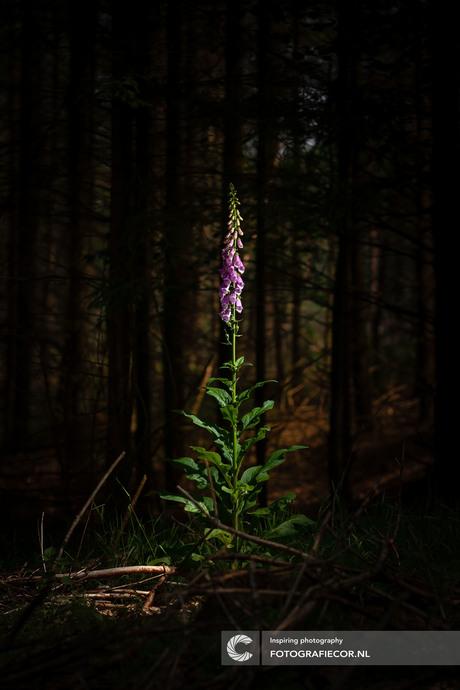 Vingerhoedskruid in het donkere bos