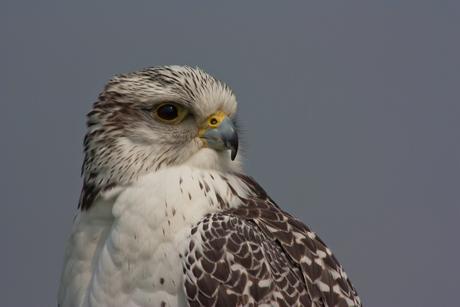 Geervalk (Falco rusticolus)