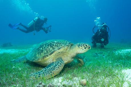 GrazendeGreen Turtle met duikers