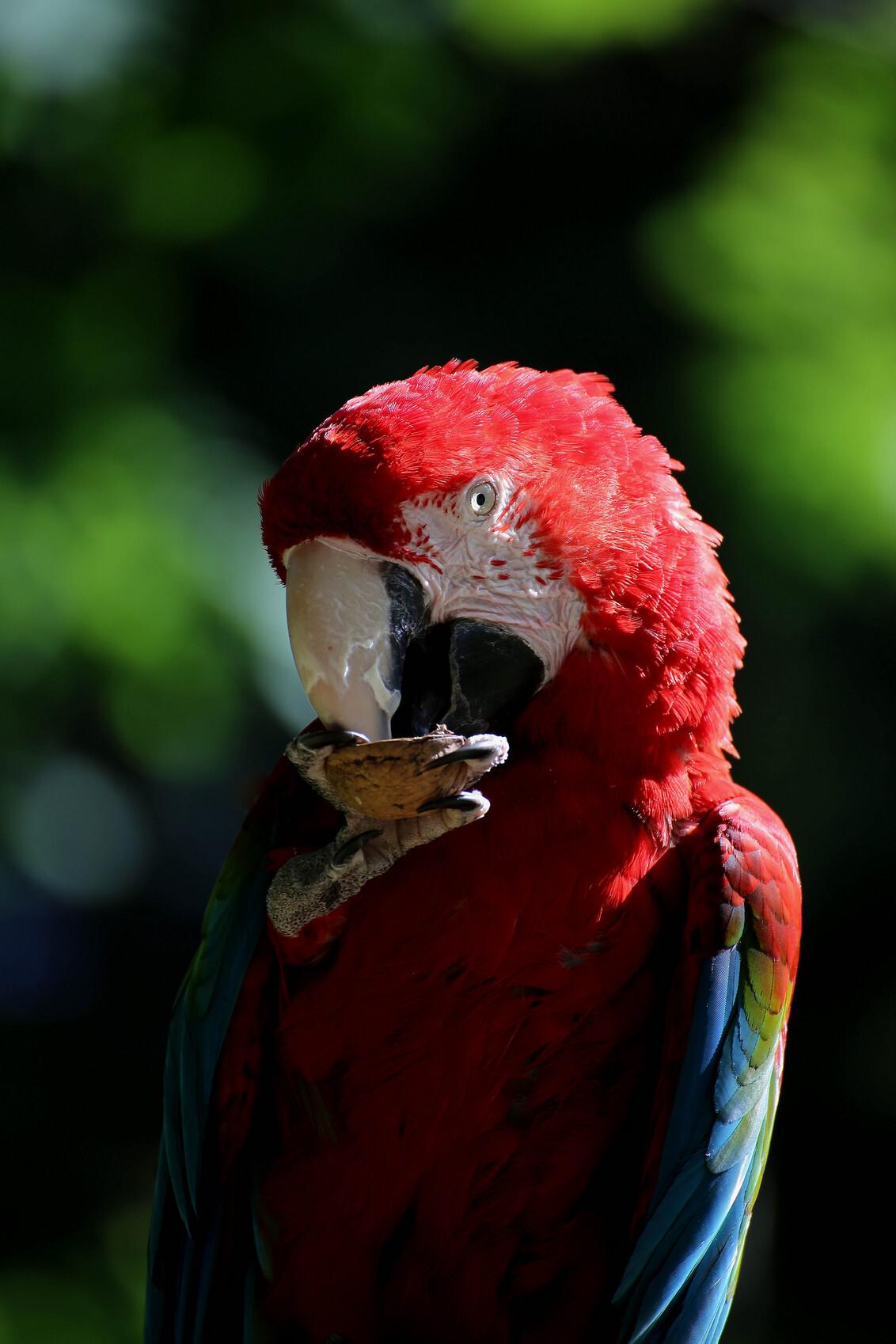 papagaai - - - foto door marvinw op 28-11-2014 - deze foto bevat: rood, blauw, dieren, safari, vogel, papagaai, etten
