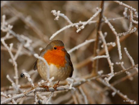 Mijn eerste Robin