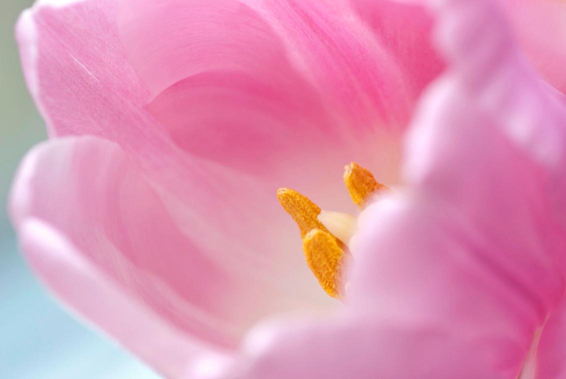 Tulp - Ik heb een beetje naar een niet zo traditionele weergave van de tulp gezocht. Ik hoop dat ik hierin geslaagd ben.  Even dubbel klikken. - foto door birgitte61 op 30-01-2014 - deze foto bevat: roze, macro, bloem, lente, tulp, voorjaar, bol