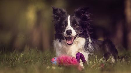 enJoy - enJoy - foto door jaime2205 op 29-08-2018 - deze foto bevat: dieren, huisdier, hond, canon, mooi, plezier, teef, 70-200mm, Border Collie, Black and white, canine, pedigree, bos spelen