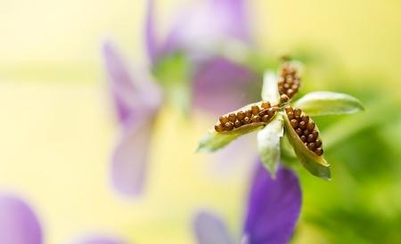 """Hart vol met..... - Gistermiddag wilde ik de dode blomkes tussen de viooltjes weghalen, toen ik dit zag. Het """"dode"""" hart van een viooltje vol met zaadjes. Dus voor ik he - foto door Jozeeke op 25-05-2016 - deze foto bevat: bloem, zaadjes, balkon, viooltjes"""