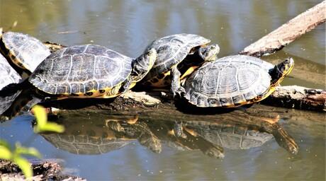 Schildpadden in het park