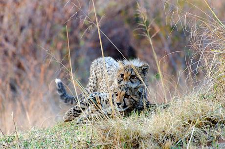 Stoere cheeta welpen