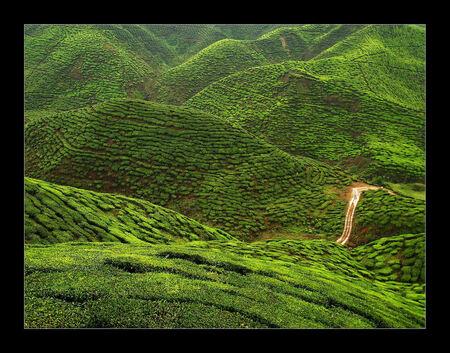 Theeplantage - Uitgestrekte theeplantages in de Cameron Highlands (Maleisie). Veel verschillende groentinten. Vooral de jonge blaadjes zijn heel fris groen. Het was - foto door juriheise op 25-09-2010 - deze foto bevat: thee, maleisie, plantages, Cameron Highlands