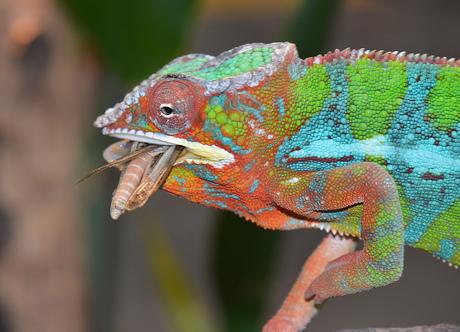 Chamaeleonidae (Kameleon)