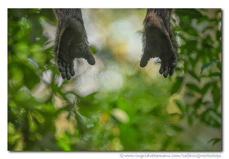 Happy Feet - Een vrolijke chimpansee liet zijn voetjes wat bengelen terwijl hij op een tak net voor me zat.  Kibale Forest, Oeganda. - foto door IngridVekemans op 05-10-2019 - deze foto bevat: natuur, dieren, safari, aap, afrika, wildlife, chimpansee, workshop, oeganda, fotosafari, Kibale