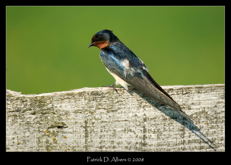 (Jack) Swallow ?