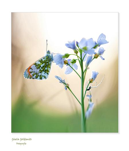 Oranje-tipje - Bedankt voor de vele fijne reacties en het kijken  naar mijn vorige Upload ik ben er heel blij mee  Liefs Gisela   The spider in the background  N - foto door 49-Gisela op 05-03-2021 - deze foto bevat: bloem, natuur, spin, vlinder, licht