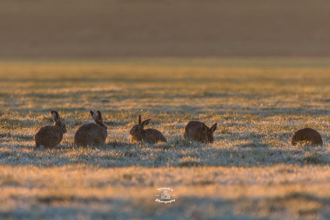 Vijf hazen - Deze ochtend zag ik maar liefst 16 hazen, helaas konden ze niet allemaal op 1 plaat worden vastgelegd. Maar deze 5 prachtige hazen bij elkaar is ook  - foto door Valeries-Photography op 06-03-2019 - deze foto bevat: natuur, dieren, konijn, haas, nederland, utrecht, wildlife, hazen, rabbit, bunny, woerden, mammals, lepus, herbivore
