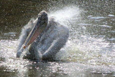 Pelikaan spat in het water