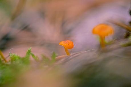 Dreamy little orange mushrooms