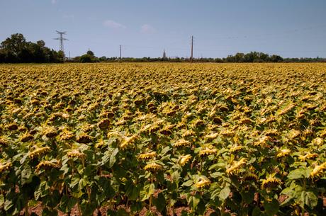 zonnebloemen ....