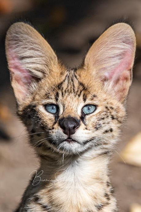 Big ear serval
