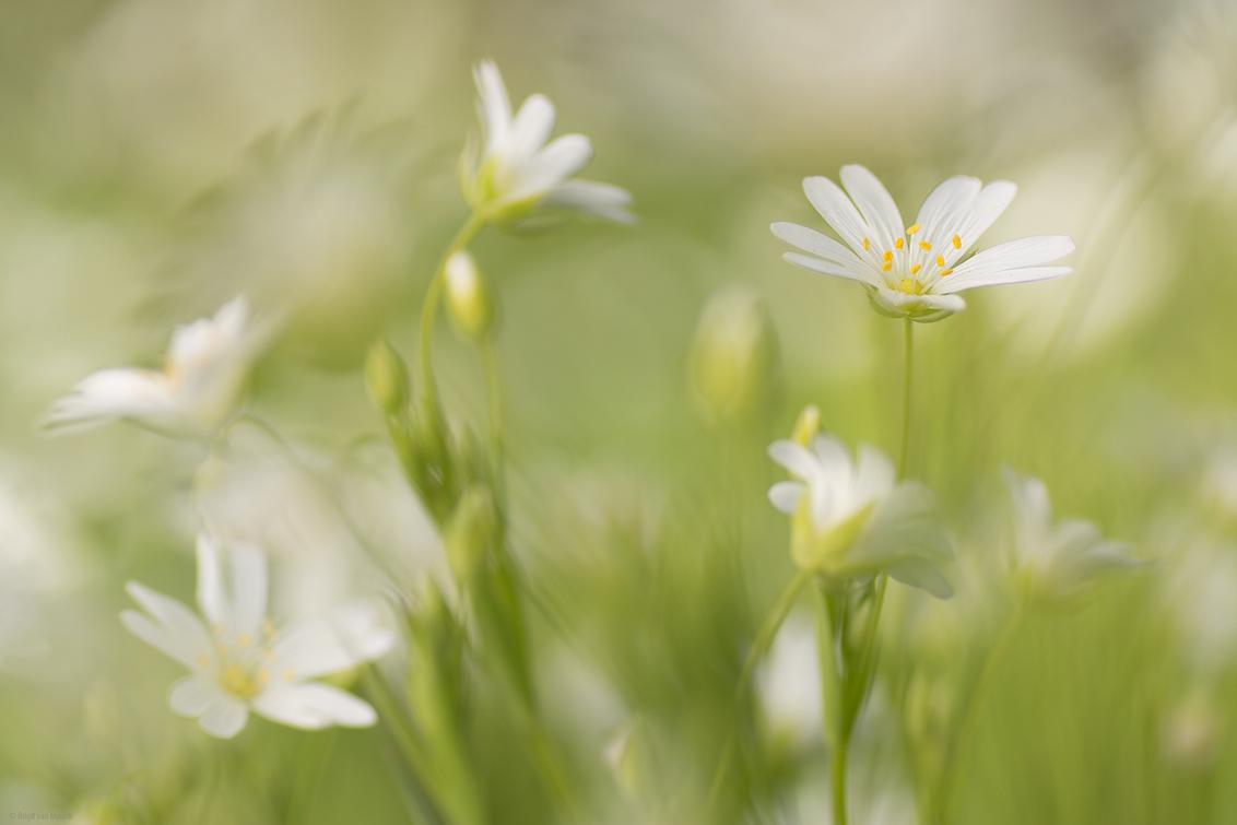 Flower art - hetzelfde bloemetje (grote muur) als de vorige opname maar nu toch weer anders. - foto door mourik57 op 16-04-2020 - deze foto bevat: macro, wit, bloemen, voorjaar, sfeer, brigit, april, grote muur